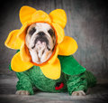 Dog wearing flower costume Royalty Free Stock Photo