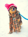 Dog wearing hat and scarf Royalty Free Stock Photo