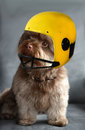 Dog wearing a helmet Royalty Free Stock Photo