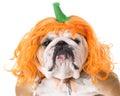 Dog wearing pumpkin costume Royalty Free Stock Photo