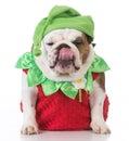 Dog wearing strawberry costume Royalty Free Stock Photo