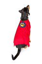 Dog Wearing Super Hero Cape Facing Away Royalty Free Stock Photo