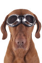 Dog wearing vintage motorbike glasses Royalty Free Stock Photos