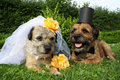 Dog wedding border terrier dogs dressed up as bride and groom with a veil and a top hat Royalty Free Stock Images