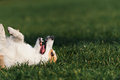 Dog welsh corgi lies on his back Imagens de Stock Royalty Free