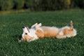 Dog welsh corgi lies on his back Fotografia de Stock