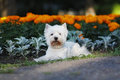 Dog west highland white terrier lying on the walk in summer against background of flower beds Royalty Free Stock Images