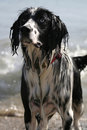 Dog Wet from Sea Royalty Free Stock Photo