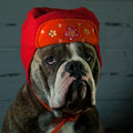 Dog whid a red hat blue brindle olde english bulldog in Stock Images