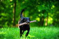 Dog with wood stick Stock Photos