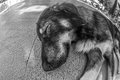Dog x s life concept a looking in black and white vision another stray laying on the gound meanwhile the indifference of the Stock Image