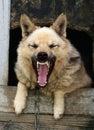 Dog yap Royalty Free Stock Images