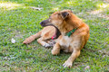 Dog yawn thailand on grass Stock Photos