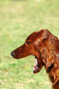 Dog yawning Royalty Free Stock Photo