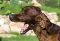 Dog yawning Royalty Free Stock Images