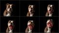 Dog yawning Royalty Free Stock Photo