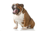 Dog yawning or yelling isolated on white background english bulldog Royalty Free Stock Images