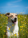 Dog in the yellow flower meadow Royalty Free Stock Photography