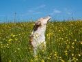 Dog in the yellow flower meadow Stock Images