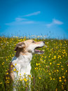 Dog in the yellow flower meadow Royalty Free Stock Images