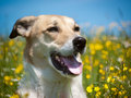 Dog in the yellow flower meadow with blue sky Royalty Free Stock Photography