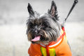 Dog yorkshire pet tongue out thirsty little sweet beautiful hairy small animal walking copy space Stock Photography