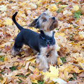 Dog Yorkshire Terrier Stock Image