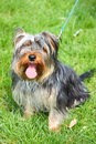 Dog yorkshire terrier sitting on a green grass outdoor Stock Image