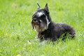 Dog of Zwergschnauzer Royalty Free Stock Photo