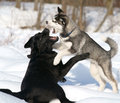 Dogfight two dogs fighting in the snow Stock Image