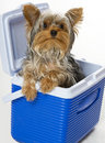 Doggie in the cooler Royalty Free Stock Photo