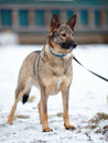 Doggie on walk dog snow not purebred dog the large not purebred mongrel Stock Image