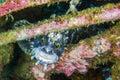 Doggy fish fish of the carp family sea of japan knight bay Royalty Free Stock Photo