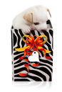 Doggy gift in box with colored ribbon Royalty Free Stock Images