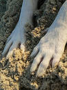 Doggy Paws in Sand Royalty Free Stock Images