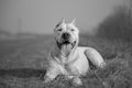 Dogo Argentino Royalty Free Stock Photo