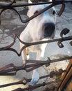 stock image of  Dogo Argentino