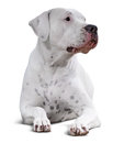 Dogo Argentino.  over white Royalty Free Stock Photo