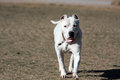 Dogo Argentino playing ears just cropped Stock Photography