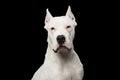 Dogo argentino portrait Royalty Free Stock Photo