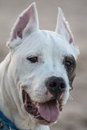 Dogo argentino six months argentinian dog portrait Stock Images