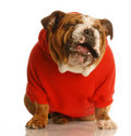 Dogo inglés divertido Imágenes de archivo libres de regalías