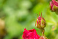 Dogrose bud after a rain close up Royalty Free Stock Image