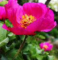 Dogrose flower Royalty Free Stock Photo