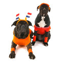 Dogs as dutch soccer supporters with colors and orange sweaters sports fan isolated over white background Stock Photos