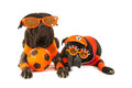 Dogs as dutch soccer supporters with colors and orange sweaters sports fan isolated over white background Royalty Free Stock Images