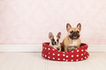 Dogs in basket two french bulldogs red dotted vintage room Royalty Free Stock Image