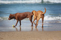 Dogs on the beach sniff each other behinds Royalty Free Stock Image