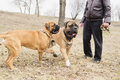 Dogs bulmastiff played junior and adult with the coach in the park Royalty Free Stock Image