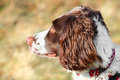 Dogs ear Spaniel dog Royalty Free Stock Photo